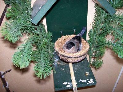 pop op nest  -  femelle qui couve