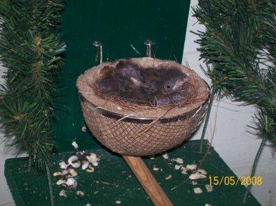 nest jonge goudvinken  -  jeunes bouvreuils
