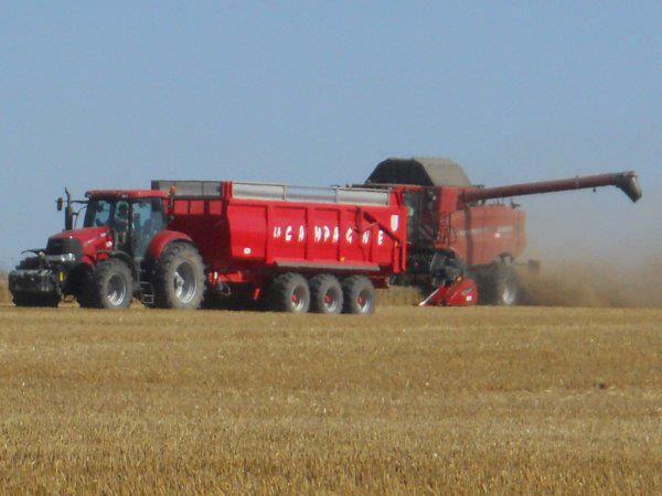 ramasage de blé dans la bauce