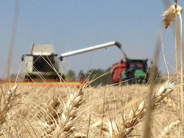 ramasage de blé en bauce