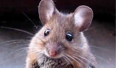 synonyme souris animal