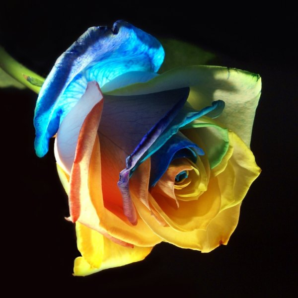 jolie cette rose