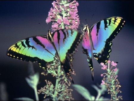 joli ces papillons
