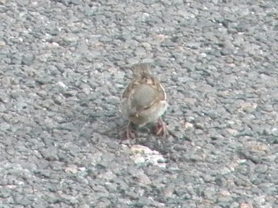 P'tit Oiseau
