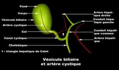 vésicule billiaire et artére cystique