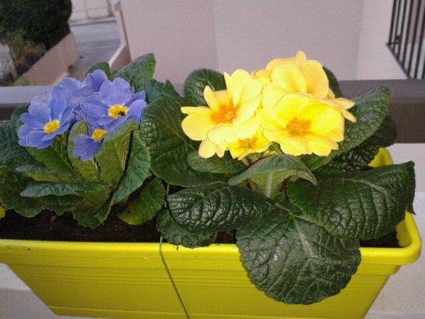 Fleur d'hiver annonce le printemps