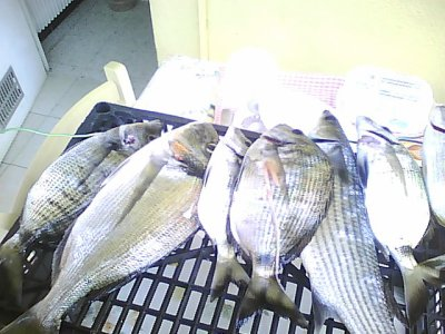 12.08.2011 l'eau étais un peu trouble j'aime bien!!! les poisons veine bien   je trouve  :-)   la dorade 1k3 et quelque sars 700g