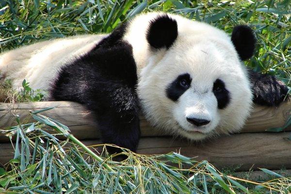 Les Pandas: Une espèce en détresse!