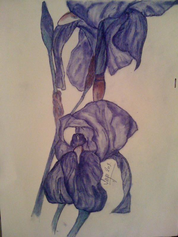 Iris bleue