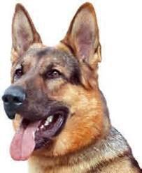 Depuis la mort de sa maîtresse, le chien Tommy va à la messe !