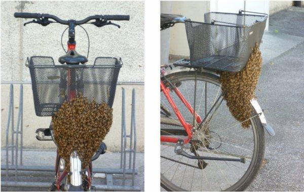 Victimes du coup de chaud, les abeilles genevoises essaiment à gogo