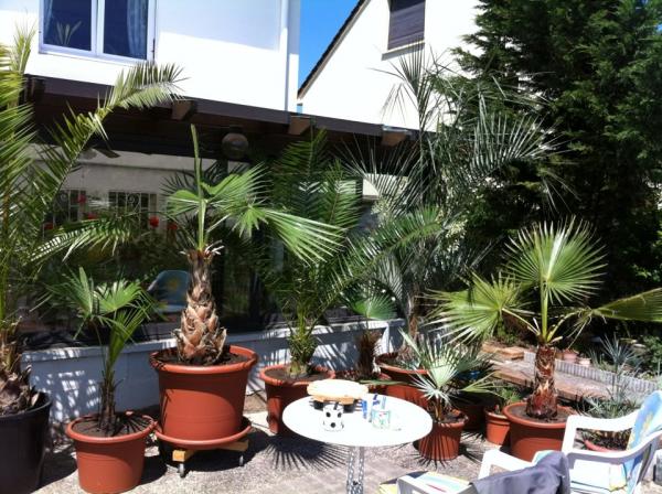 Mes palmiers sur la terrasse.
