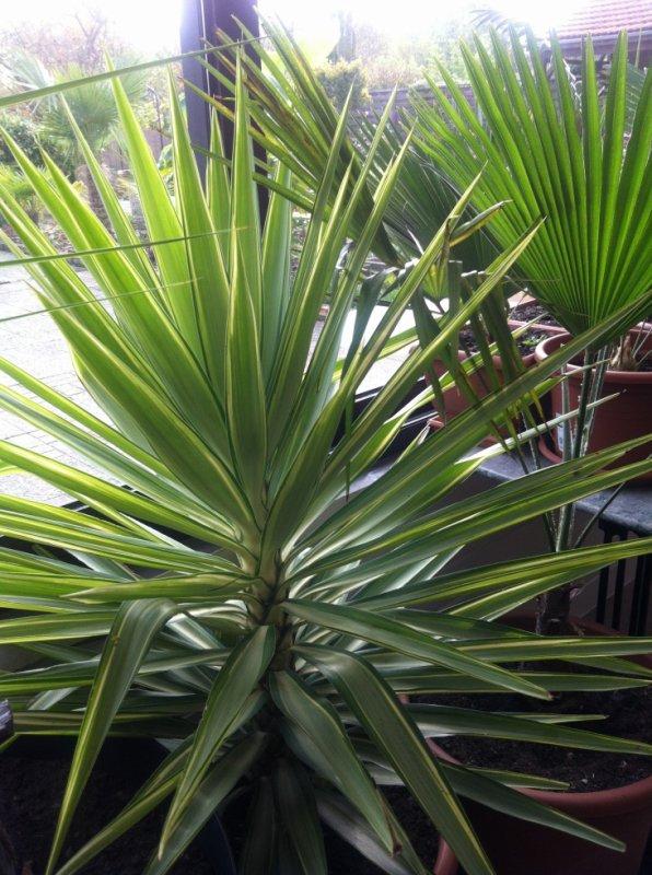 Yucca Jewel Les Palmiers En Lorraine Fleurs Et Compagnie