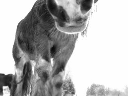 """"""" Le cheval d'un paysan n'est jamais boiteux ou en mauvaise forme. Il ne refuse pas son mors, et ne bute pas ; ni des antérieurs ni des postérieurs. Comme son maître, il n'est pas prétentieux. Il ne se cabre pas ni ne caracole, il ploie le garrot et laisse chacun admirer sa beauté. Il est toujours partant, toujours prêt à faire son travail de cheval """""""