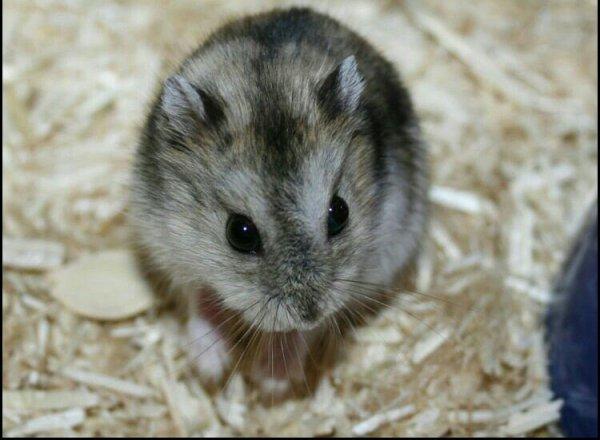 Hamster nain à vendre.