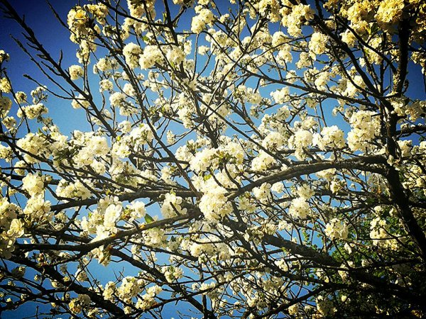 Fleurs de Cerisier ~