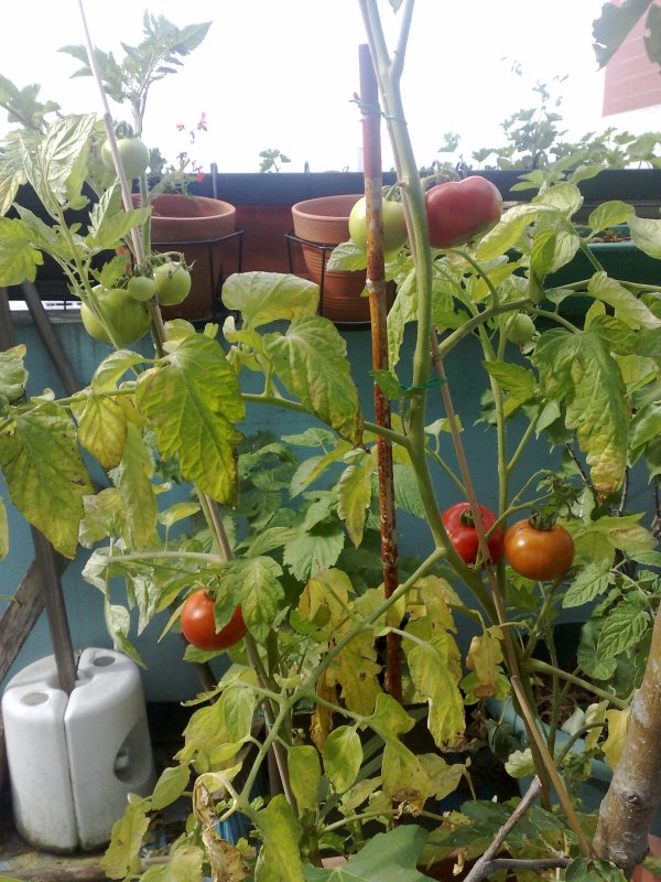 tomates de mon balcon du 9.3, l'an prochain je tente le papayer!