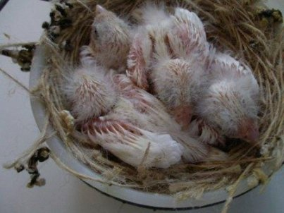 Ancora un nido di avorio mosaico