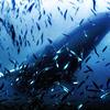 Hunting Humpbacks