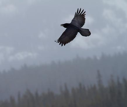 Quand les corbeaux commencent à chanter, la mort n'est pas loin...