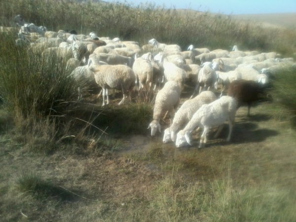 troupeau de moutons.