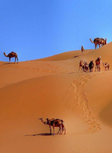 Algéria chameau sublime de mon beau pays