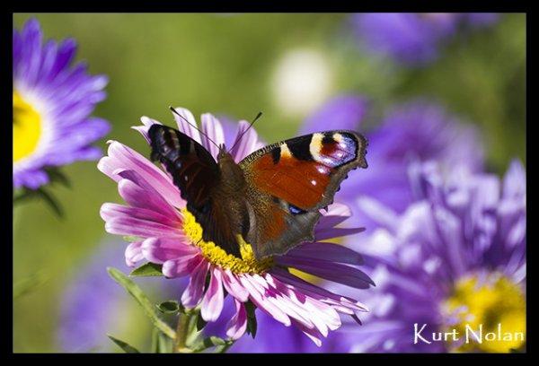 Papillon :)