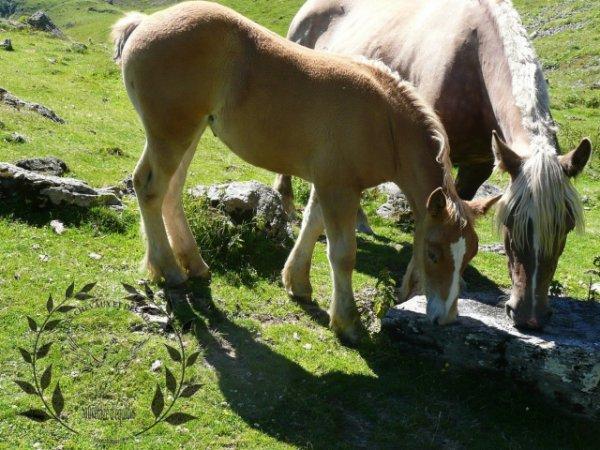 Candy de payolle, pouliche pour une équitation de loisir!