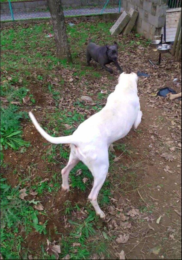 Mon Cani corso et mon dogue