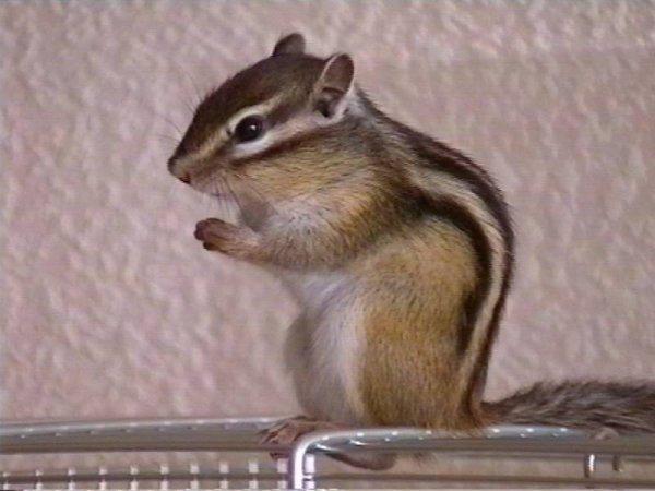ecureuil de coree