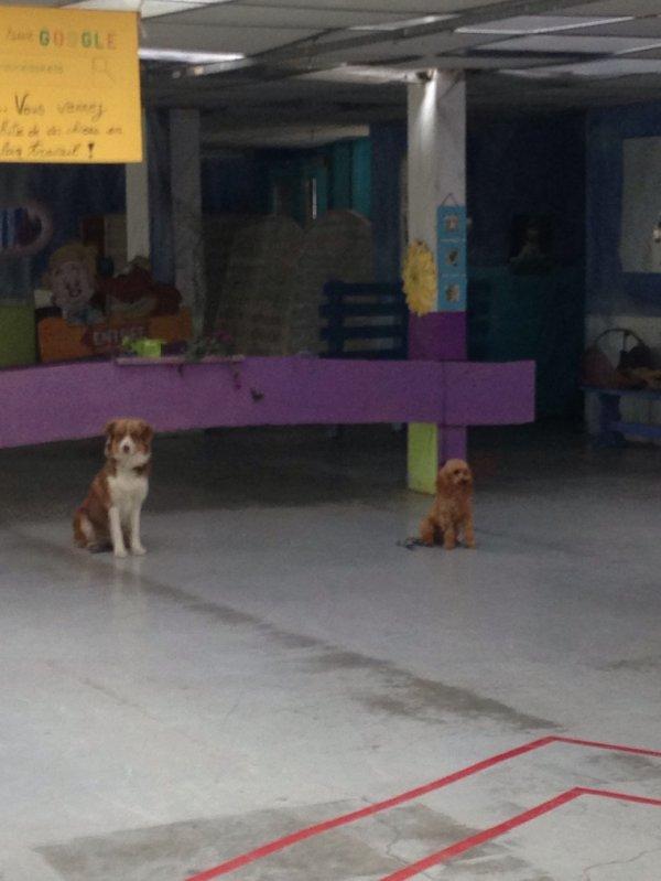 Apprendre aux chiens ne pas bouger. Ceci est un exercice primordial pour éviter que votre chien par exemple saute sur les gens à leur arrivée ou sorte de votre cour â votre arrivée