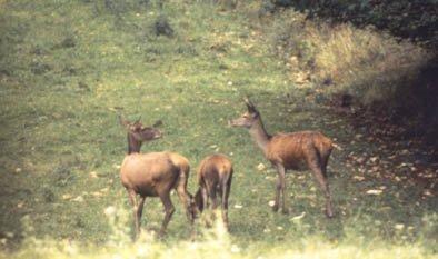 Animaux de nos forêts _ le Cerf