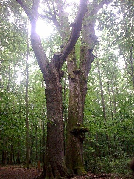 Les Grandes Forêts Française _ _ Forêt de Tronçais