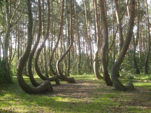 Curiosité _ _ Forêt tordue