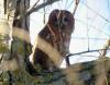 Animaux de nos forêts _ La chouette hulotte, espèce protégée