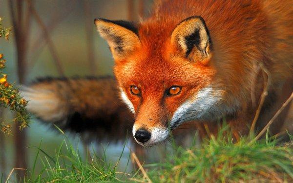 Animaux de nos forêts _ Renard roux