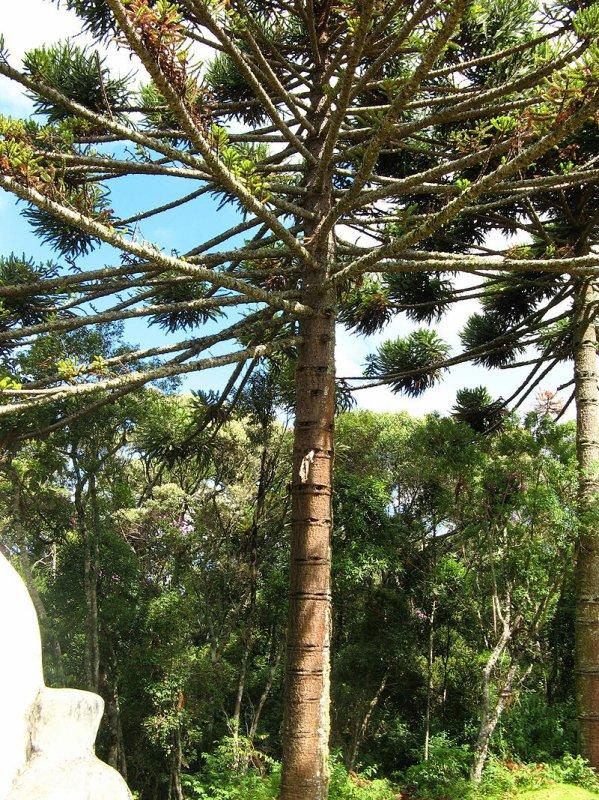Forêt d'araucaria