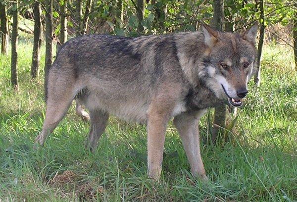 Animaux des forêts _ Les Loups
