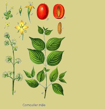 Cornouiller sauvage