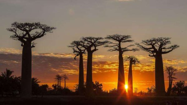 Des chercheurs alertent sur la mort de certains des plus vieux baobabs d'Afrique