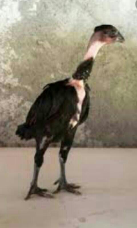 Coq poule cou nue