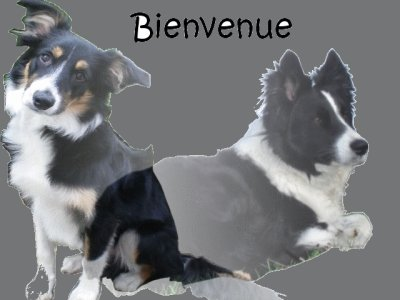 forum de border collie