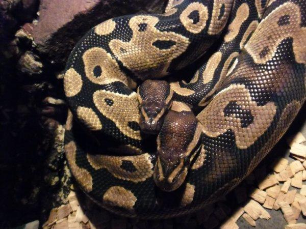 mon couple de python royal