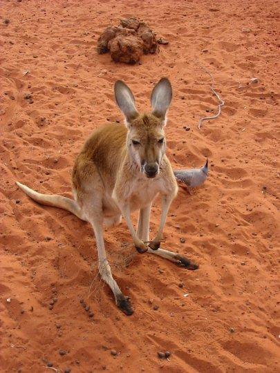 kangouroux