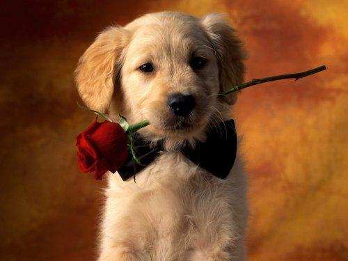 chien avec une rose