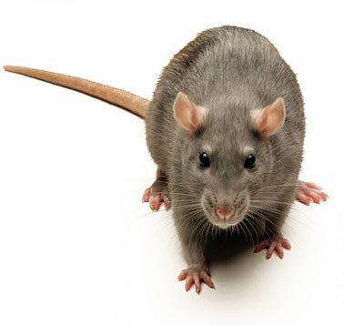 Pourquoi les rats comme animale de compagnie????