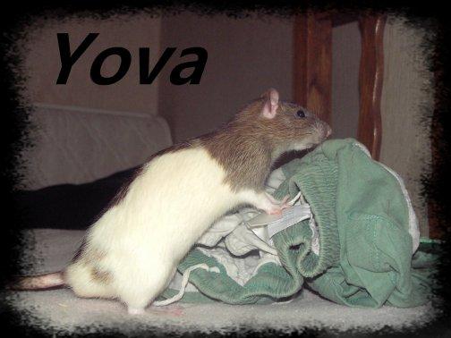 Igor et Yova : les rats de mon copain :)