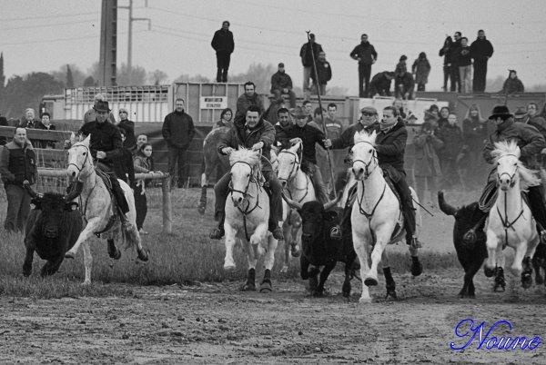 Aigues Mortes, journée des chasseurs, Abrivades le 17/03/12