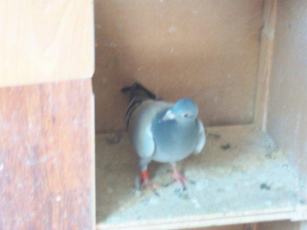pigeon allemand que mon papa ma acheter