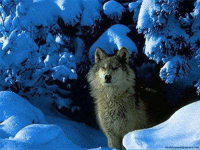 L'odyssée d'une louve